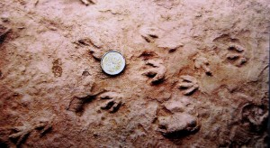 Parrsboro Smallest Dinosaur Footprint