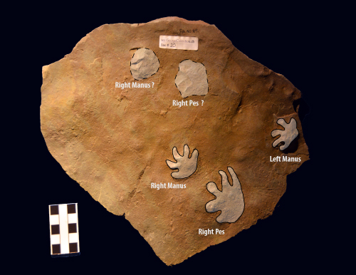Fossil footprints labeled with right and left, manus and pes.